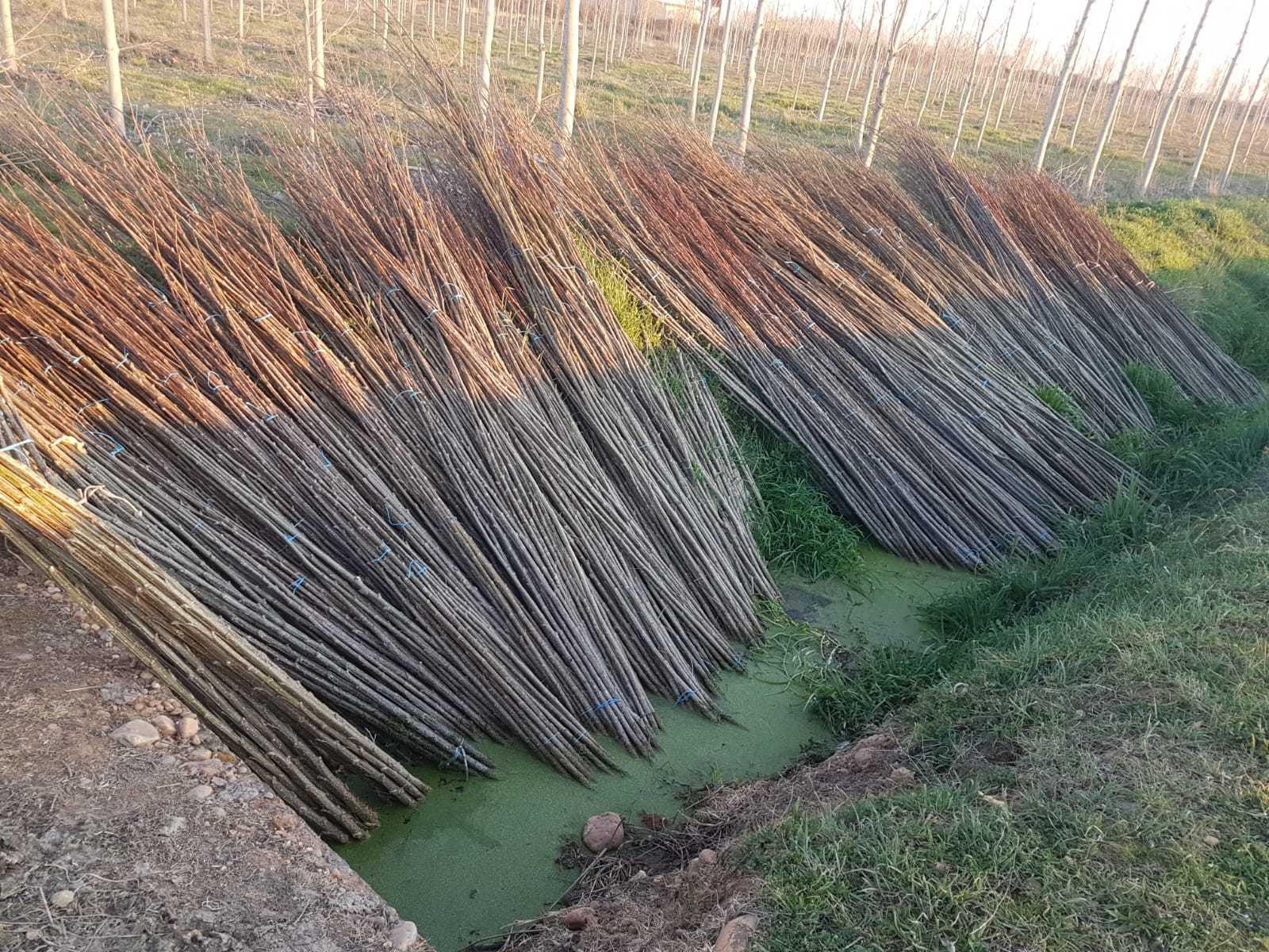 Plantar-chopos-0015.jpg