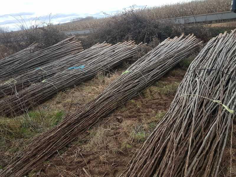 plantar-chopos-0018-1.jpg
