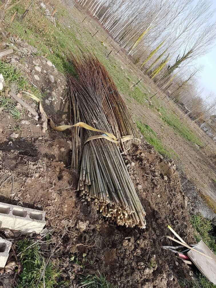 plantar-chopos-0124-1.jpg